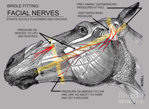 facial-nerves-and-the-importance-of-bridle-fitting-diane-schell